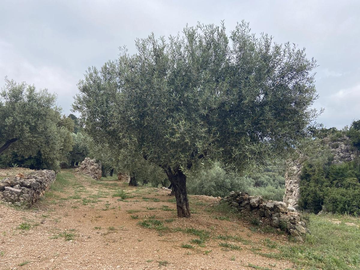 Un olivo durante el paseo por los jardines de Oliveras.