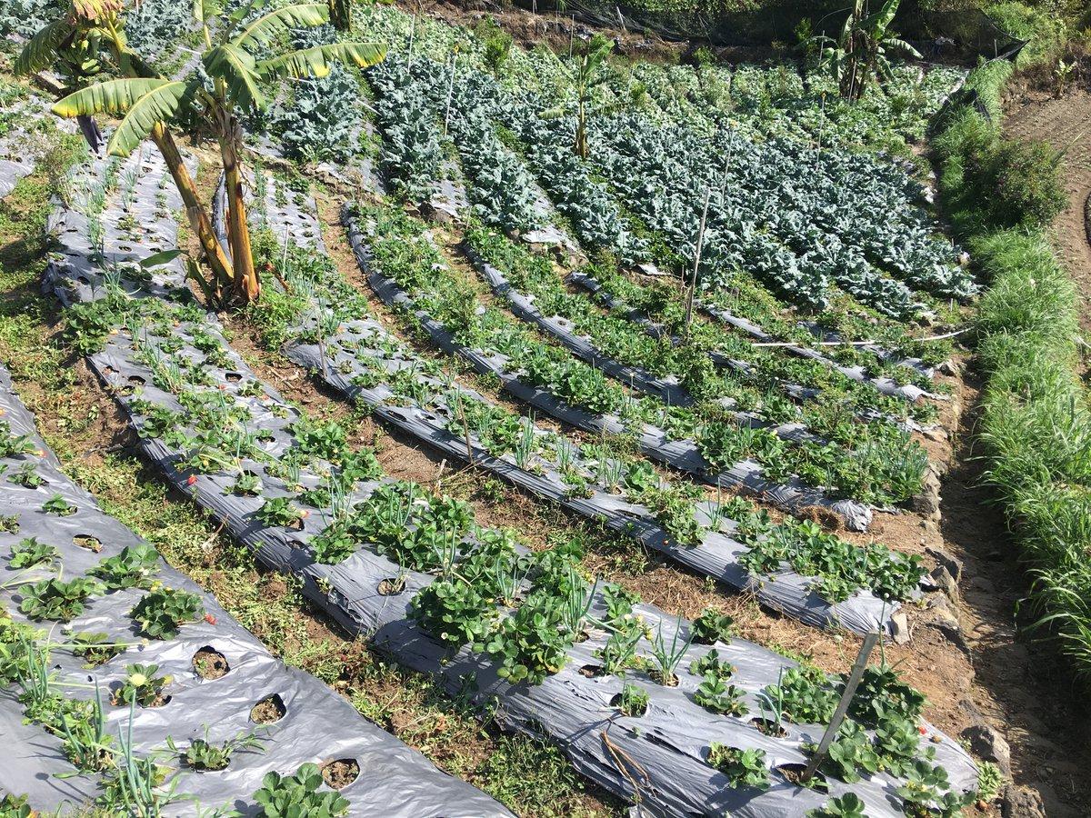 Foto plantación de fresas en pendiente