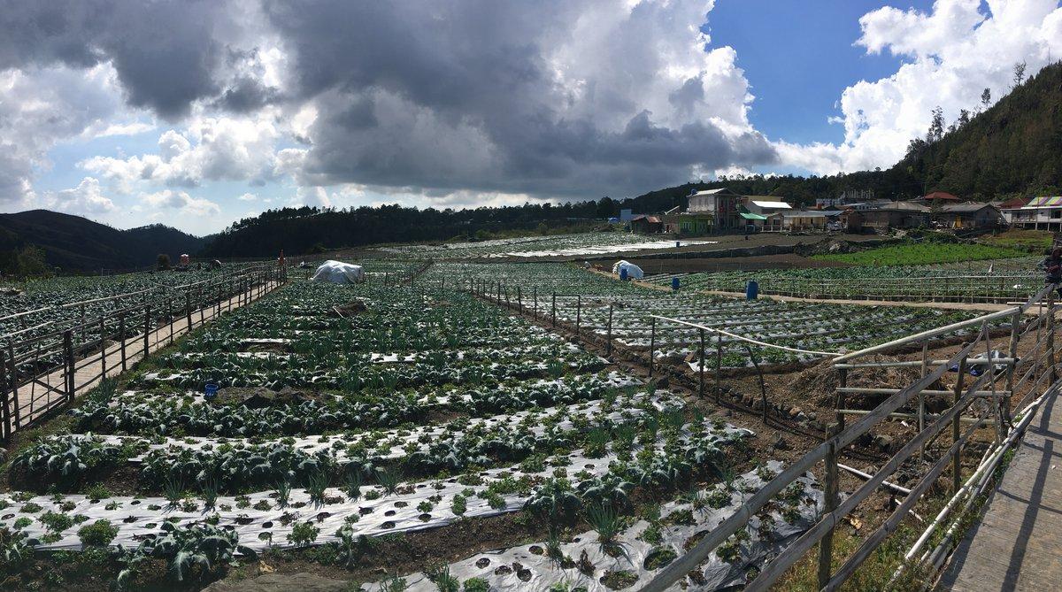 Foto plantación de fresas en Solo