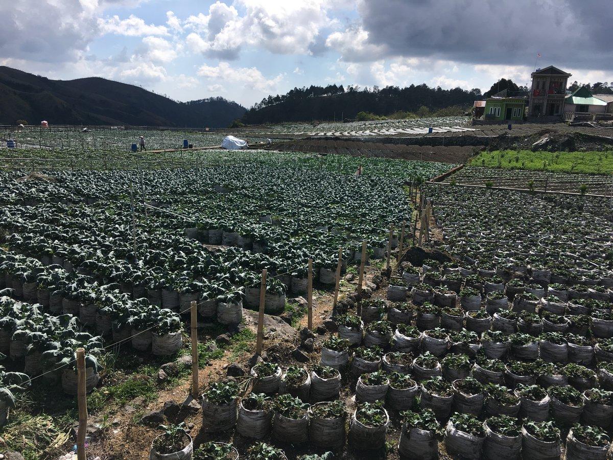 Foto plantación de fresas en Surakata