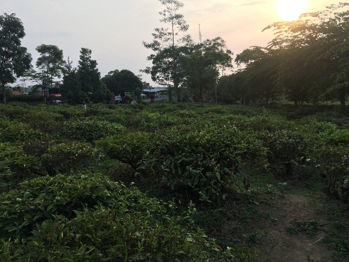 Foto de una plantación de té