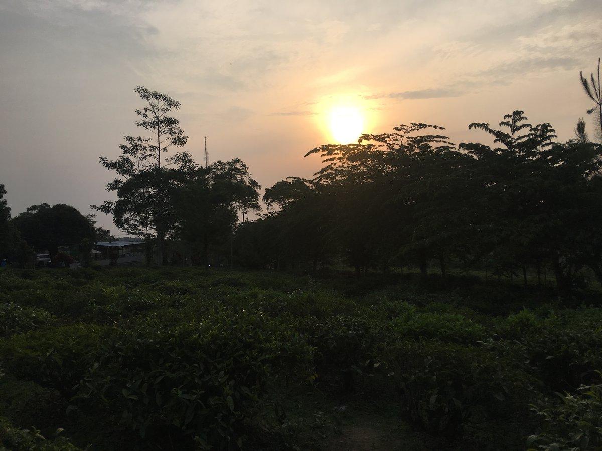 Puesta de sol en la plantación de té